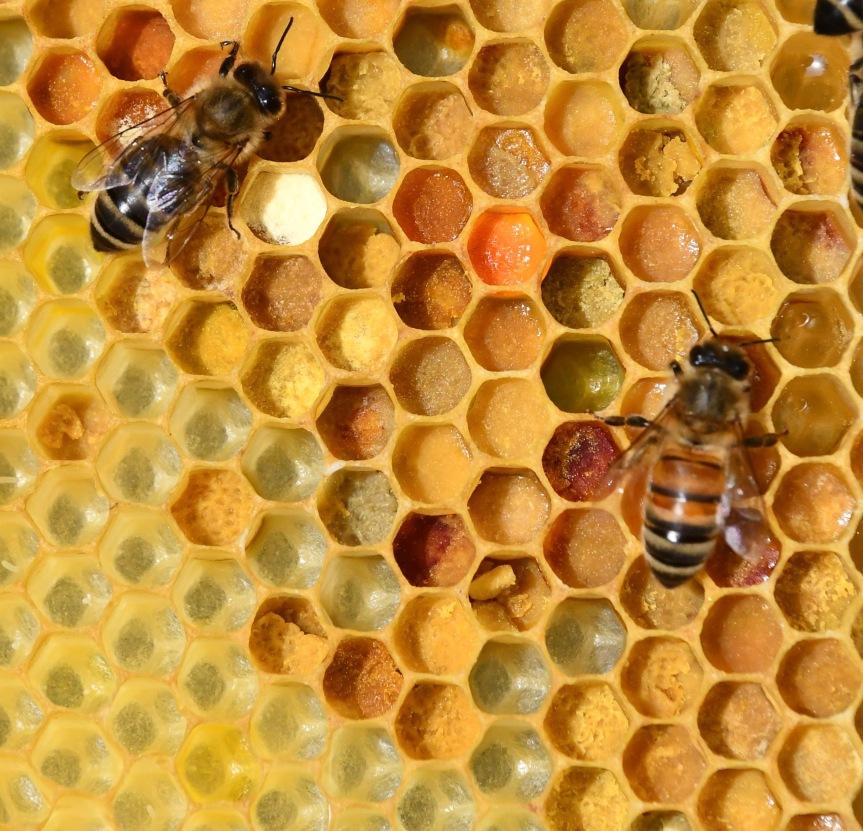 Schwarmkontrolle, Pollenvielfalt, Rettung des drohnenbrütigenVolkes